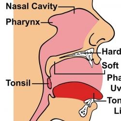 Anatomía de la boca humana